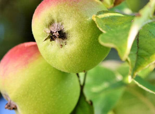 https://tr.rivulis.com/wp-content/uploads/2019/05/Apples_Pears-595x439.jpg