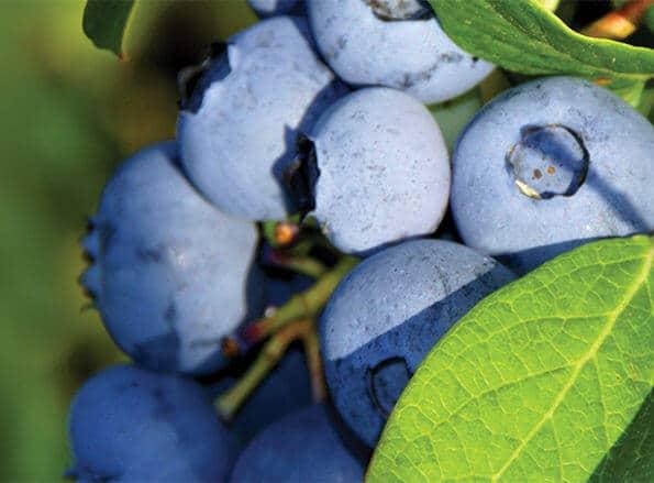 https://tr.rivulis.com/wp-content/uploads/2019/05/Blueberries_bg-595x439.jpg