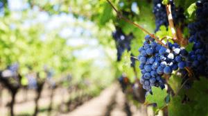 Vineyard and Grape Irrigation