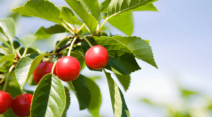 Sour Cherries, Serbia
